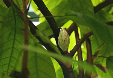 [Communiqué] Lancement de l'initiative française pour un cacao durable